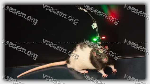 Подопытная крыса